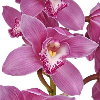 Wholesale Mother's Day Pastel Cymbidium Orchids