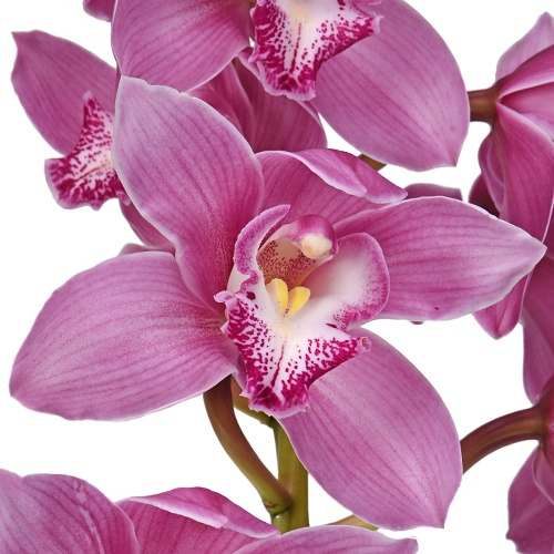 Cymbidium Orchids Hot Pink Overnight