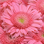 Bulk Light Pink Gerber Flower