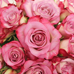 Light Pink Rose Sweet Akito