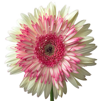 Pink Feathers Gerbera Daisy