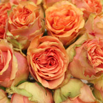 Cream Rose Sahara