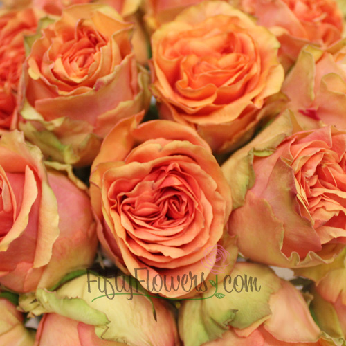 Bright Lights Standard Rose