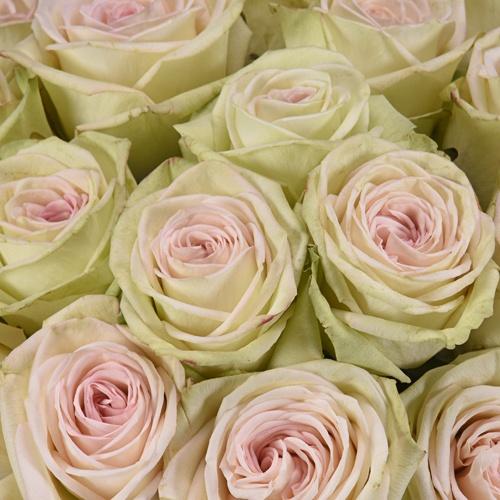 Pink Lemonade Rose