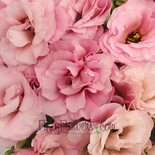 Light Pink Designer Lisianthus Flower for October to May Delivery