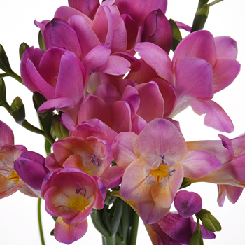 Passionate Kiss Freesia Flower