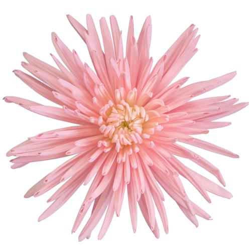 Pink Tinted Spider Mum Flower Bloom