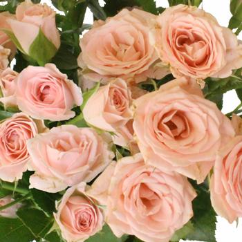 Pink Spray Bulk Roses