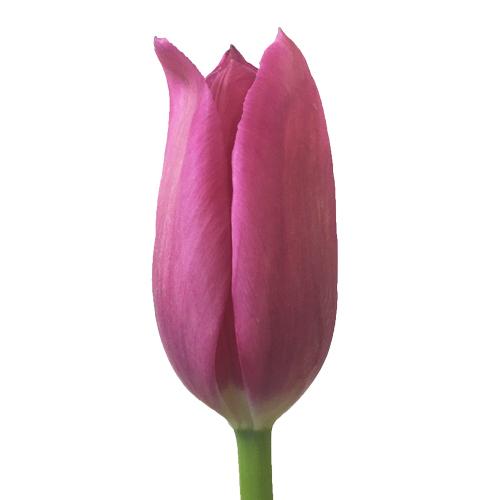 Flushed Tulips