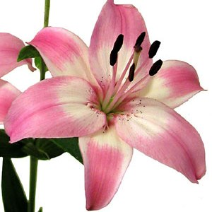 Bicolor Pink And White Asiatic Lily Fiftyflowers Com