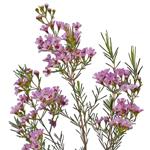 Wax Flower Dark Pink