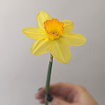 White Daffodil Flower Wholesale