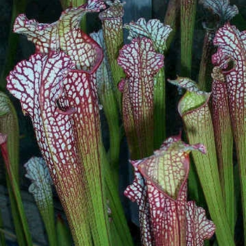 Sarracenia Pitcher Plant