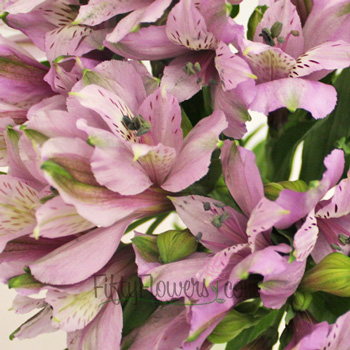Lavender Peruvian Lilies
