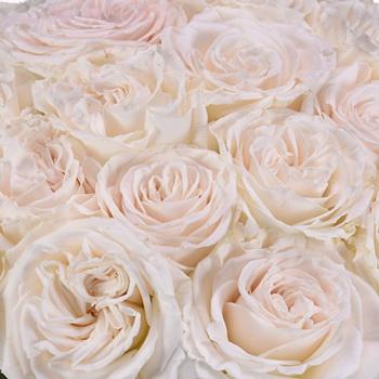 Playa Blanca Fresh Cut Rose