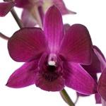 Fuschia Fresh Dendrobium Orchids Bloom