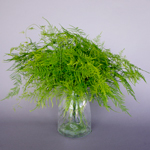Bulk greens sold near me plumosa fern greenery designed