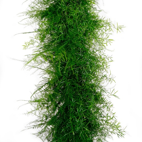 Plumosus Sprengeri Greens Garland