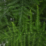 Fresh cut greens plumosa fern filler flower sold near me