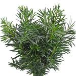Podocarpus - Buy Bulk FREE SHIPPING!