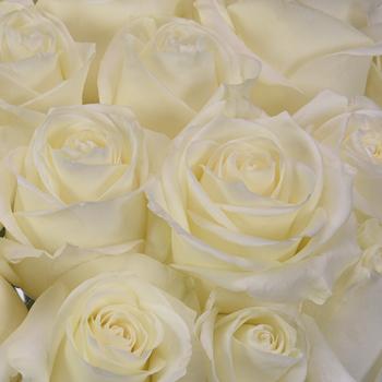 Polar Star White Rose up close