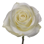 Polar Star White Rose Stem