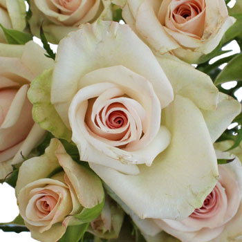 Porcelina Blush Pink Roses up close