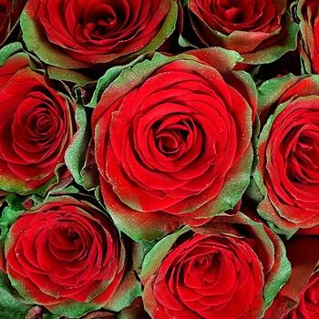 Holiday Cheer Rose