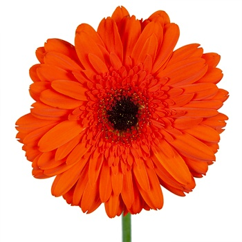 Fire Orange Gerbera Daisy