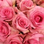 Fresh Cut Roses Hot Pink Priceless