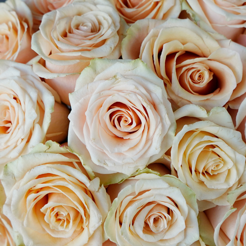 Peach Champagne Rose