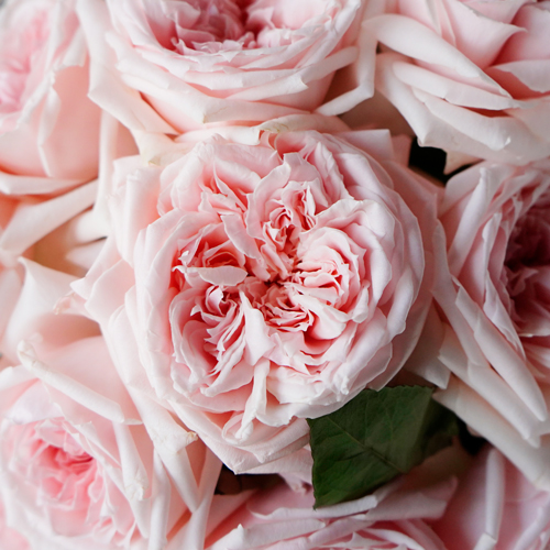 Perfect Pink Garden Rose