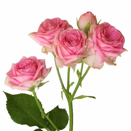 Princess Pink Petite Roses