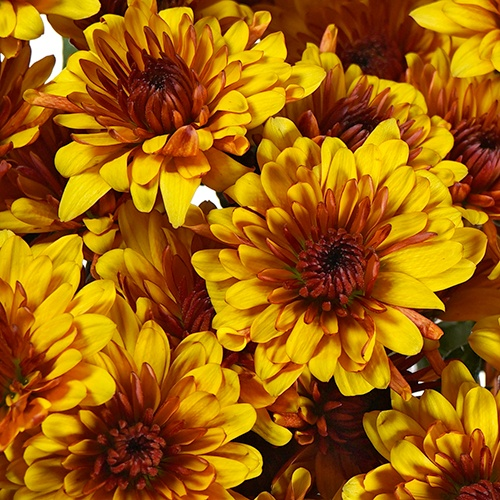 Antique Goldenrod Chrysanthemum