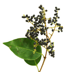 Single stem of privett berries wholesale fall greens sold near me