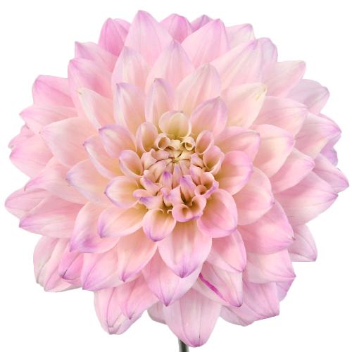 Sugar Plum Dahlia Flower
