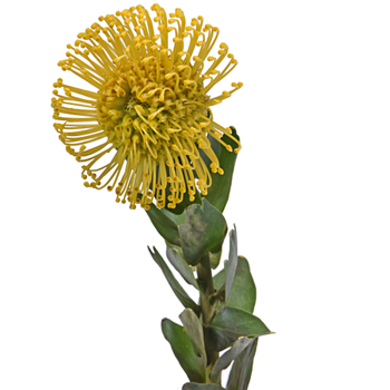 Protea Yellow Pin Cushion Flower