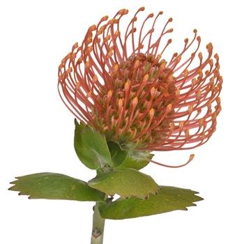 Orange Sorbet Pin Cushion Flower