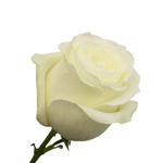 White Rose Akito