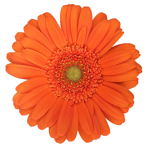 Pumpkin Orange Mini Gerbera Daisies