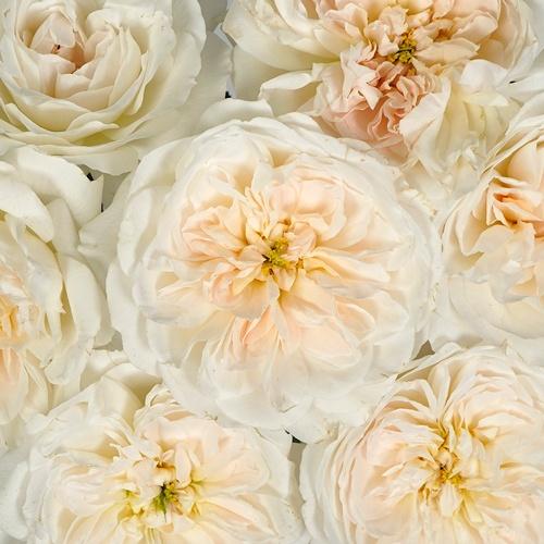 David Austin Purity Ausoblige Garden Rose