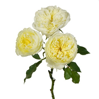 Mini Sweet Cream Spray Garden Roses