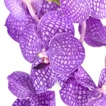 Purple Bicolor Vanda Orchid Flower