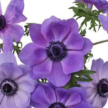 Purple Fresh Cut Anemone Flower