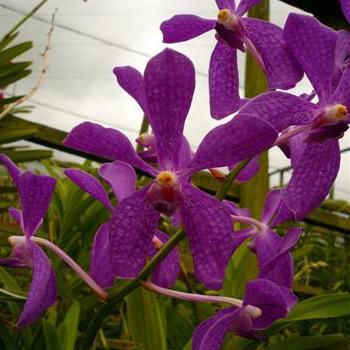 Mauve Mokara Orchid