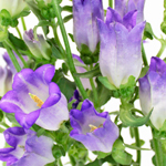 Campanula_Purple_Flower