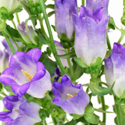 Campanulas Purple Flower