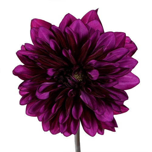 Purple Flame Dahlia Flower