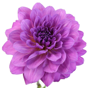 Purple Passion Dahlia Flower