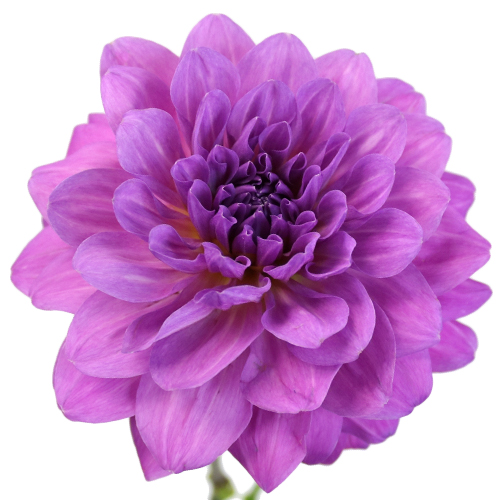 Purple Passion Dahlia Flower